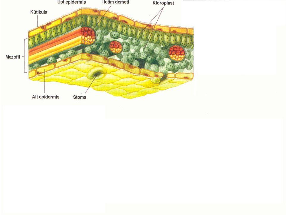 b.Soymuk Boruları (Floem) Tek sıra halinde üst üste dizilmiş canlı hücrelerden oluşur.