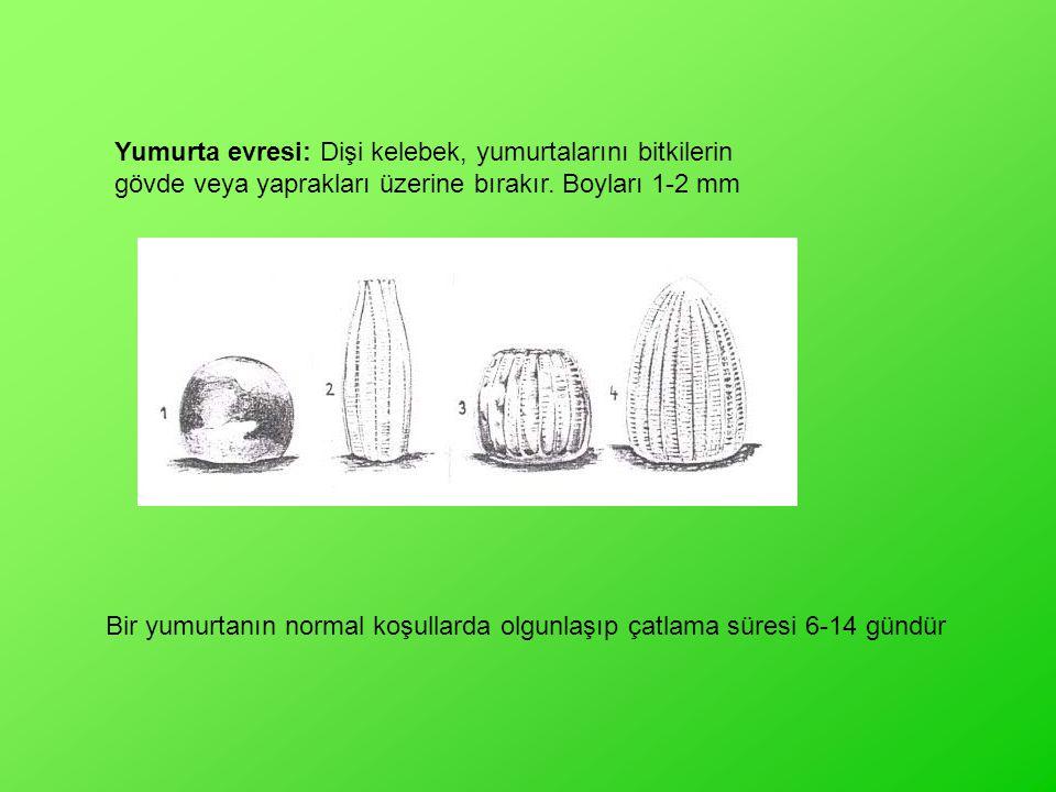 Yumurta evresi: Dişi kelebek, yumurtalarını bitkilerin gövde veya yaprakları üzerine bırakır. Boyları 1-2 mm Bir yumurtanın normal koşullarda olgunlaş