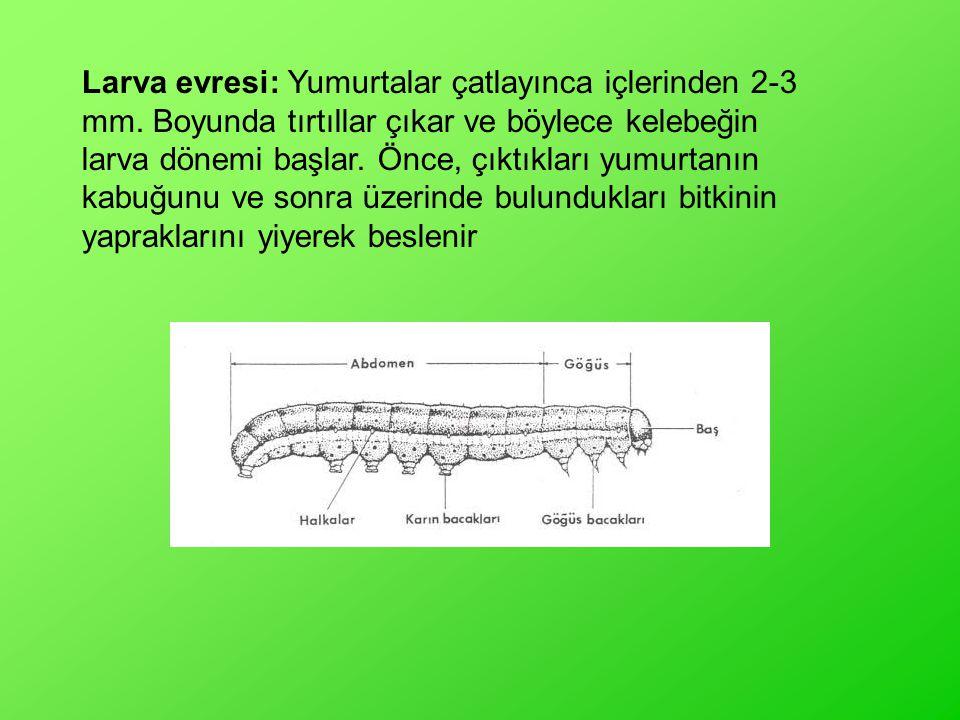 Larva evresi: Yumurtalar çatlayınca içlerinden 2-3 mm. Boyunda tırtıllar çıkar ve böylece kelebeğin larva dönemi başlar. Önce, çıktıkları yumurtanın k