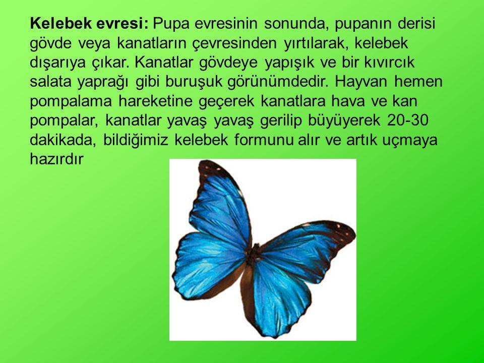 Kelebek evresi: Pupa evresinin sonunda, pupanın derisi gövde veya kanatların çevresinden yırtılarak, kelebek dışarıya çıkar. Kanatlar gövdeye yapışık