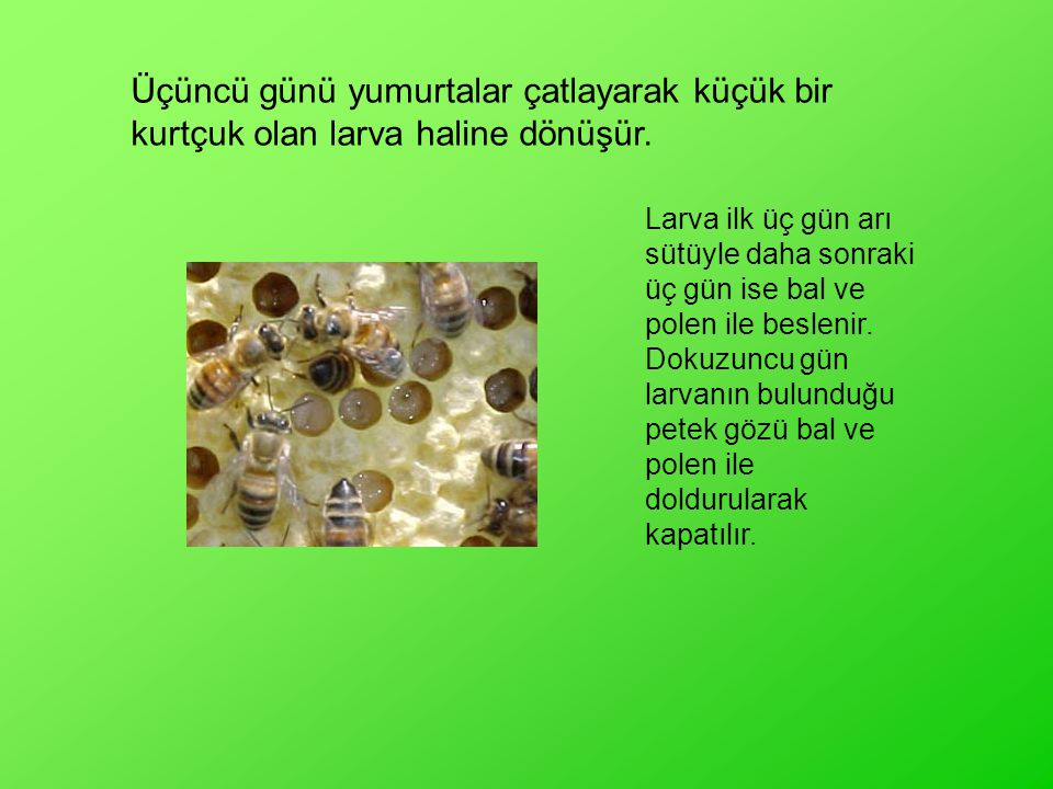 Üçüncü günü yumurtalar çatlayarak küçük bir kurtçuk olan larva haline dönüşür. Larva ilk üç gün arı sütüyle daha sonraki üç gün ise bal ve polen ile b