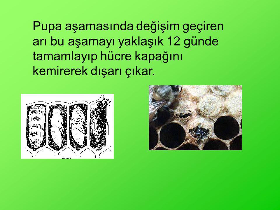 Pupa aşamasında değişim geçiren arı bu aşamayı yaklaşık 12 günde tamamlayıp hücre kapağını kemirerek dışarı çıkar.
