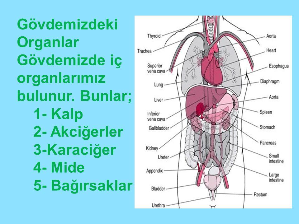 Gövdemizdeki Organlar Gövdemizde iç organlarımız bulunur. Bunlar; 1- Kalp 2- Akciğerler 3-Karaciğer 4- Mide 5- Bağırsaklar