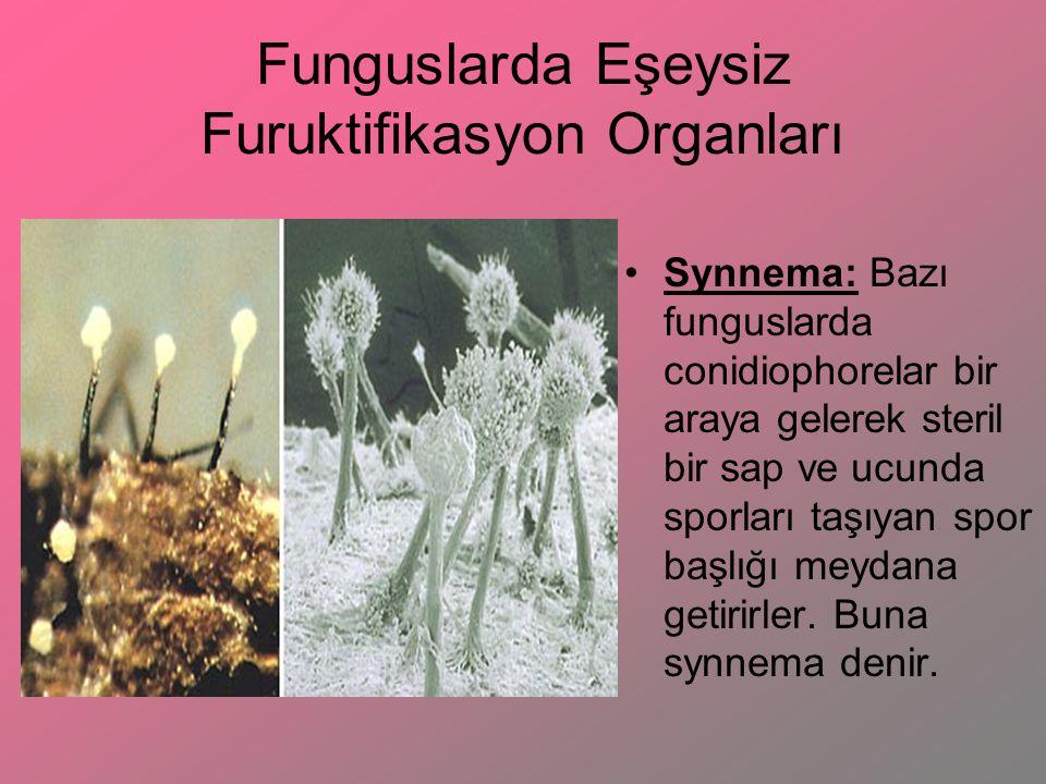 Funguslarda Eşeysiz Furuktifikasyon Organları Synnema: Bazı funguslarda conidiophorelar bir araya gelerek steril bir sap ve ucunda sporları taşıyan sp