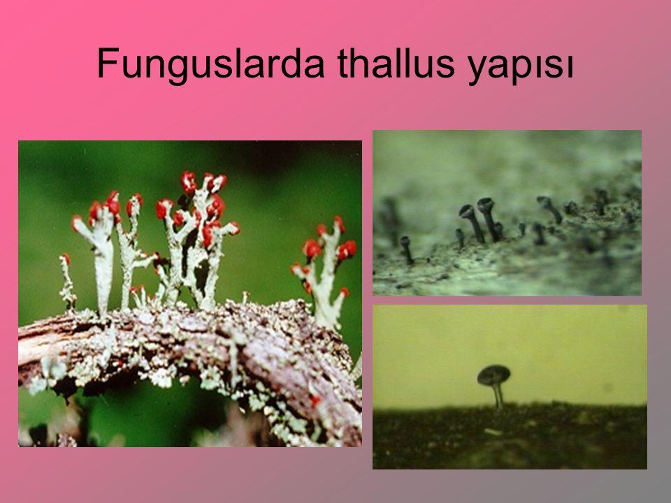 Funguslarda Eşeysiz Furuktifikasyon Organları Sporodochium: fungus conidophorelarının yan yana gelerek konukçu dokusu dışında oluşturduğu yastık şeklinde yapılardır.
