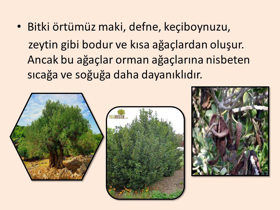 Bitki örtümüz maki, defne, keçiboynuzu, zeytin gibi bodur ve kısa ağaçlardan oluşur.