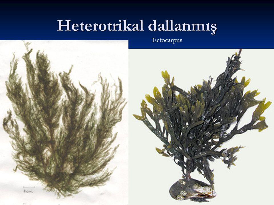 Heterotrikal dallanmış Ectocarpus