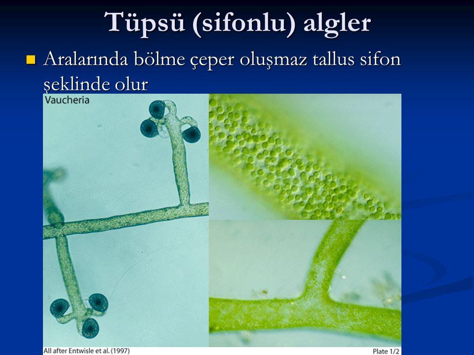 Tüpsü (sifonlu) algler Aralarında bölme çeper oluşmaz tallus sifon şeklinde olur Aralarında bölme çeper oluşmaz tallus sifon şeklinde olur