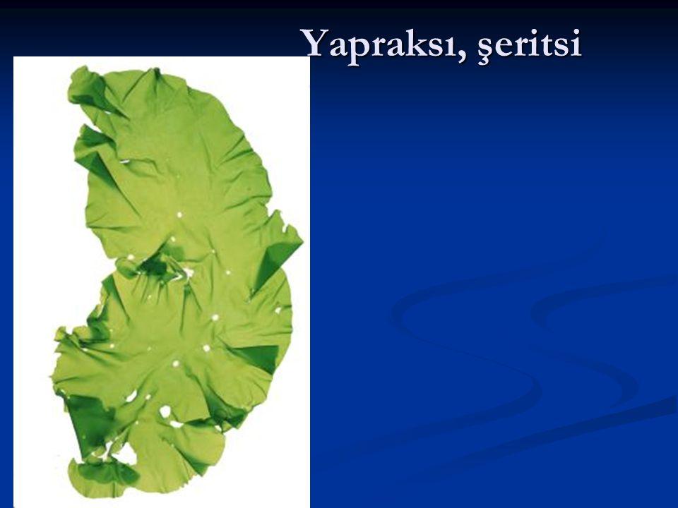 Yapraksı, şeritsi