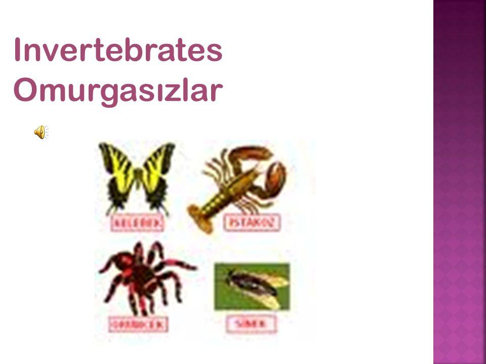 Invertebrates Omurgasızlar