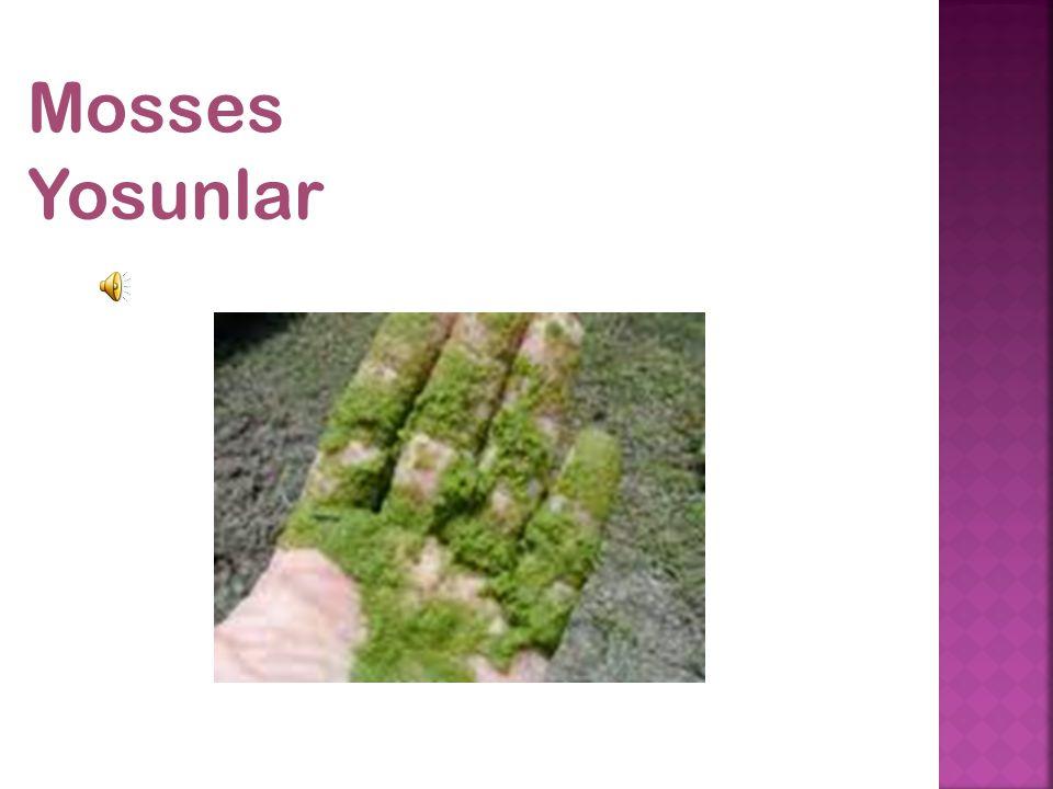 Mosses Yosunlar