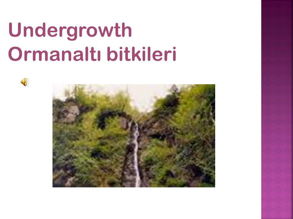 Undergrowth Ormanaltı bitkileri