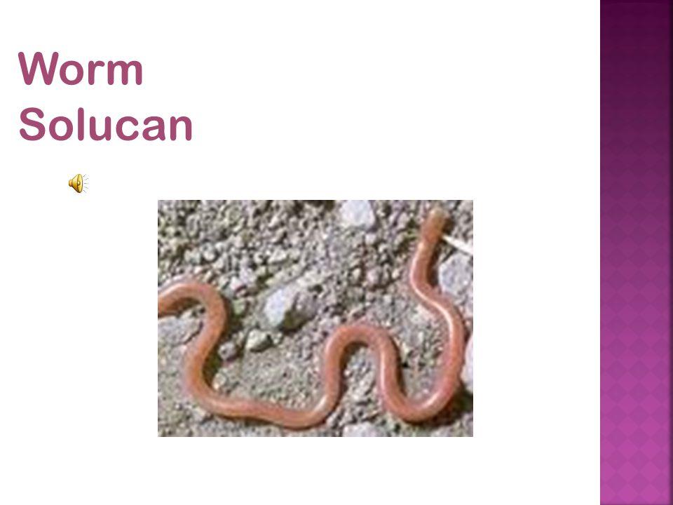 Worm Solucan