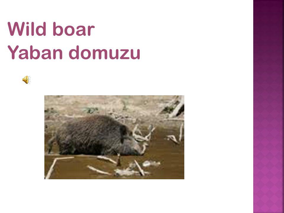 Wild boar Yaban domuzu