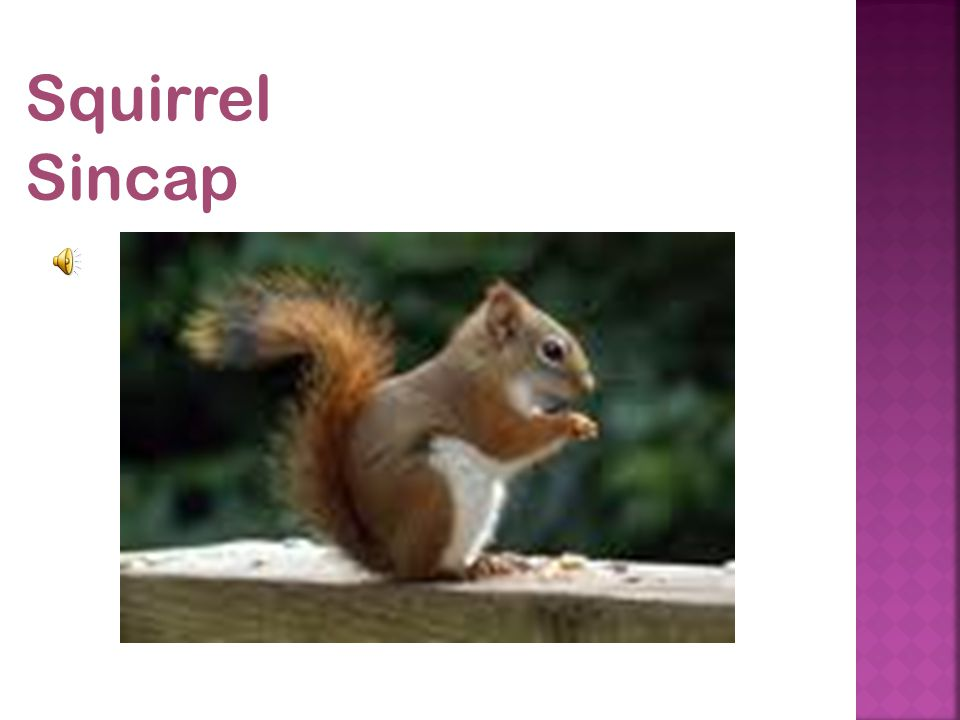 Squirrel Sincap