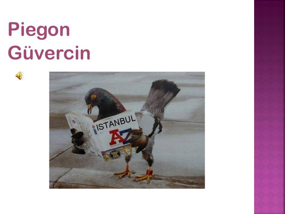Piegon Güvercin