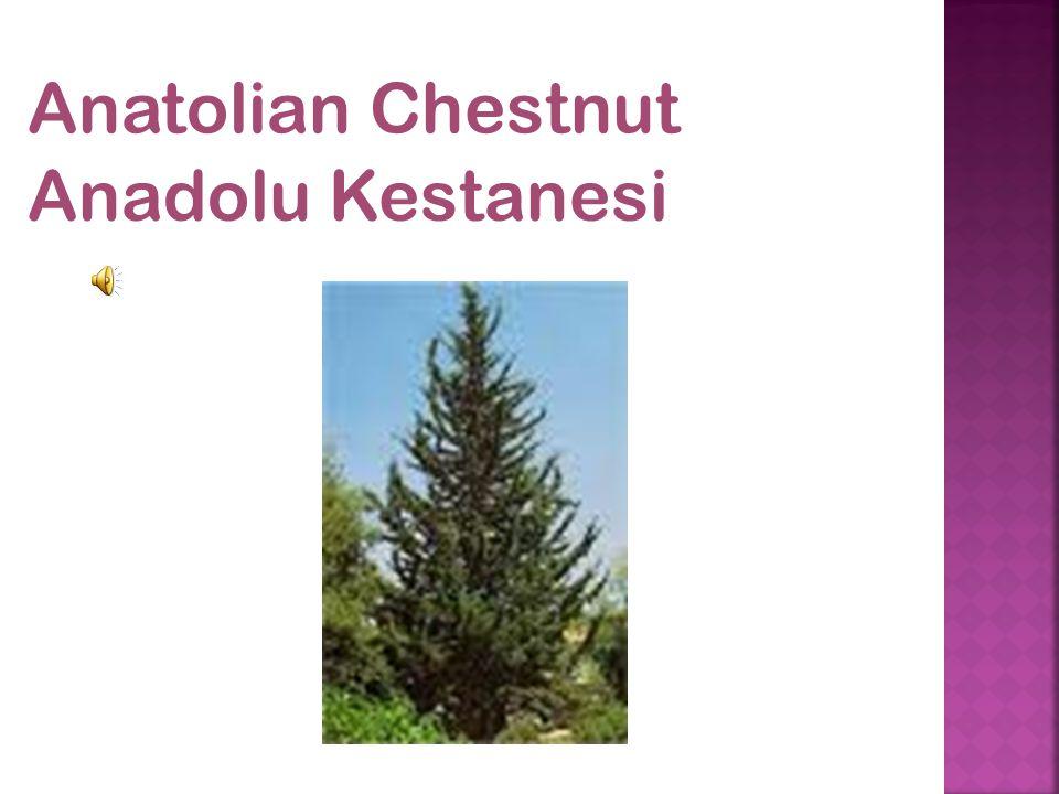 Anatolian Chestnut Anadolu Kestanesi