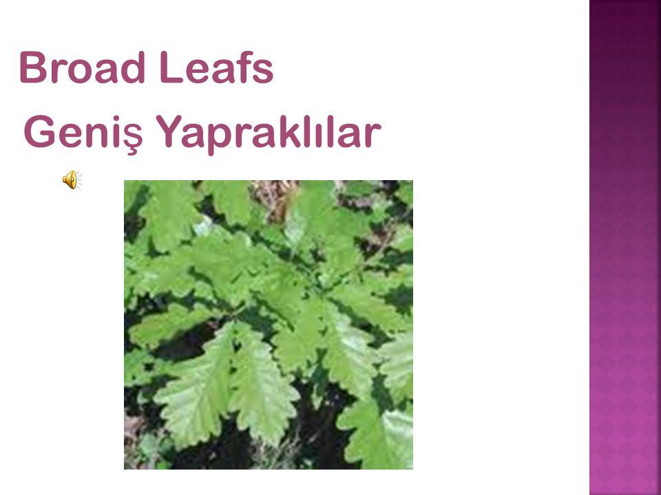 Broad Leafs Geni ş Yapraklılar