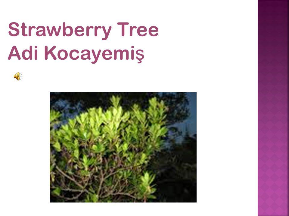 Strawberry Tree Adi Kocayemi ş