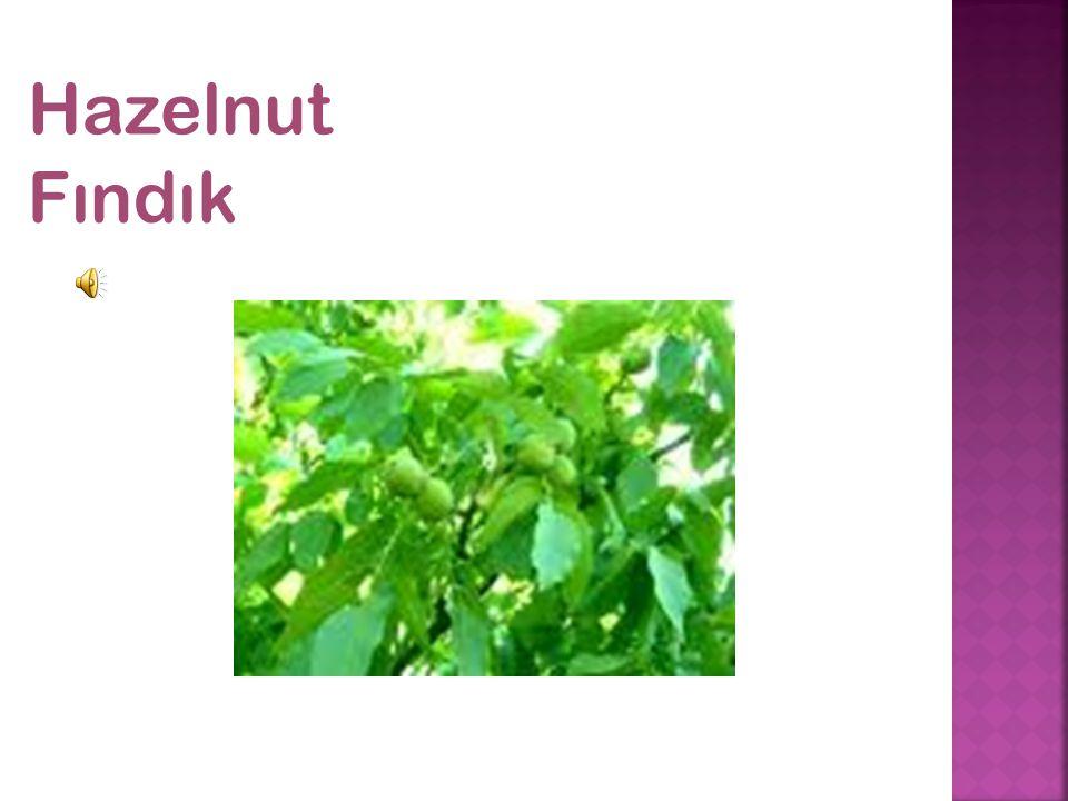 Hazelnut Fındık
