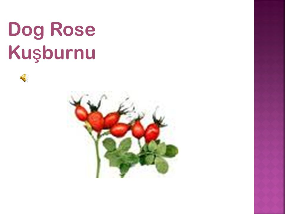 Dog Rose Ku ş burnu