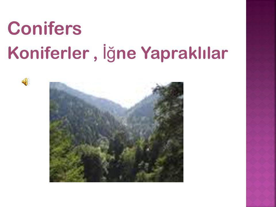 Conifers Koniferler, İğ ne Yapraklılar