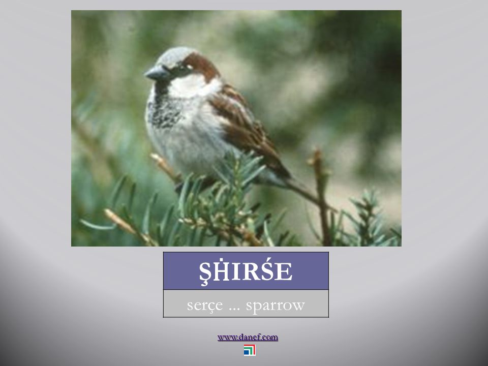 www.danef.com P Ḣ EŞHAĆE BZIW serçe... house sparrow