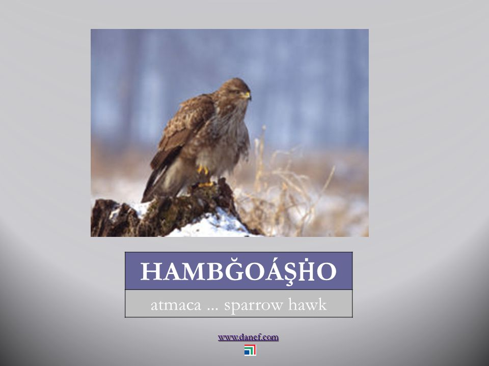 www.danef.com HAMBĞOÁŞ Ḣ O atmaca... sparrow hawk