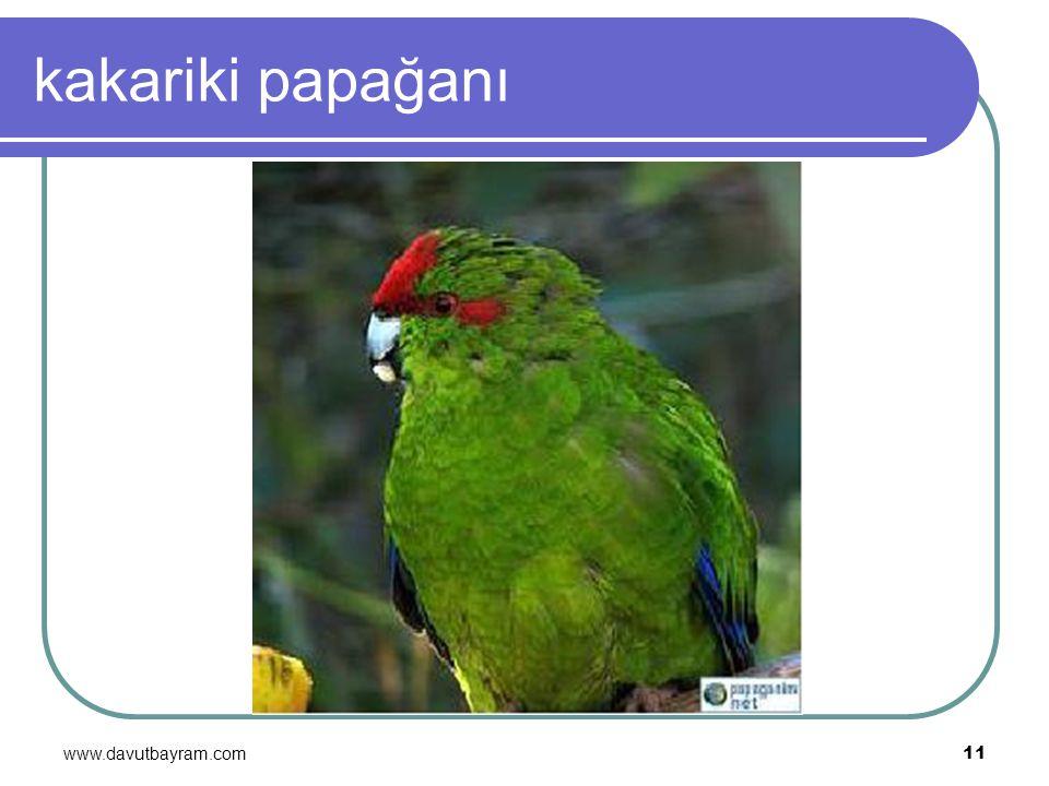 www.davutbayram.com 11 kakariki papağanı