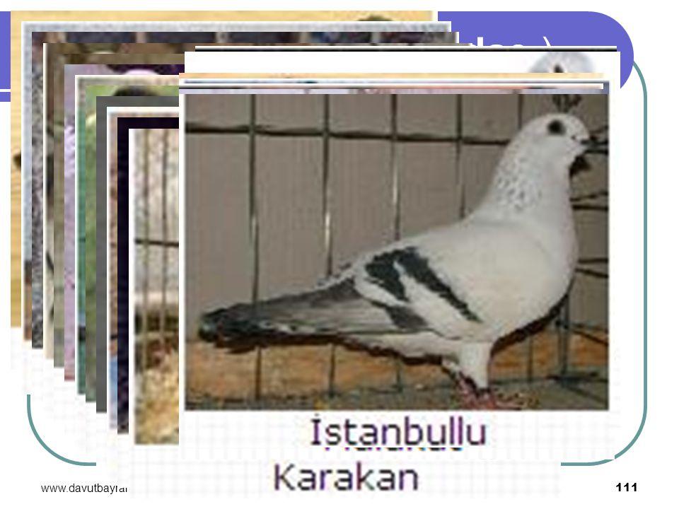 www.davutbayram.com 111 GÜVERCİN (Columbidae )