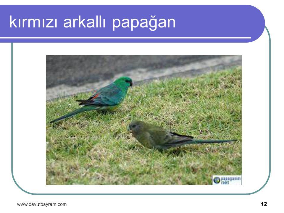 www.davutbayram.com 12 kırmızı arkallı papağan