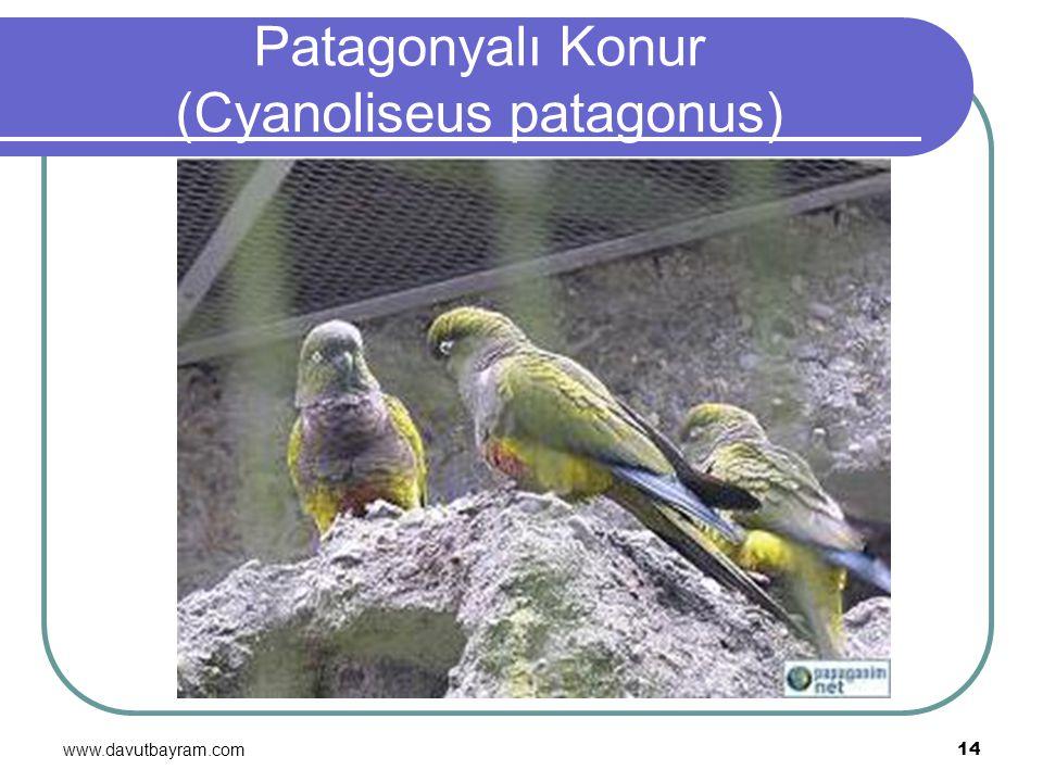 www.davutbayram.com 14 Patagonyalı Konur (Cyanoliseus patagonus)