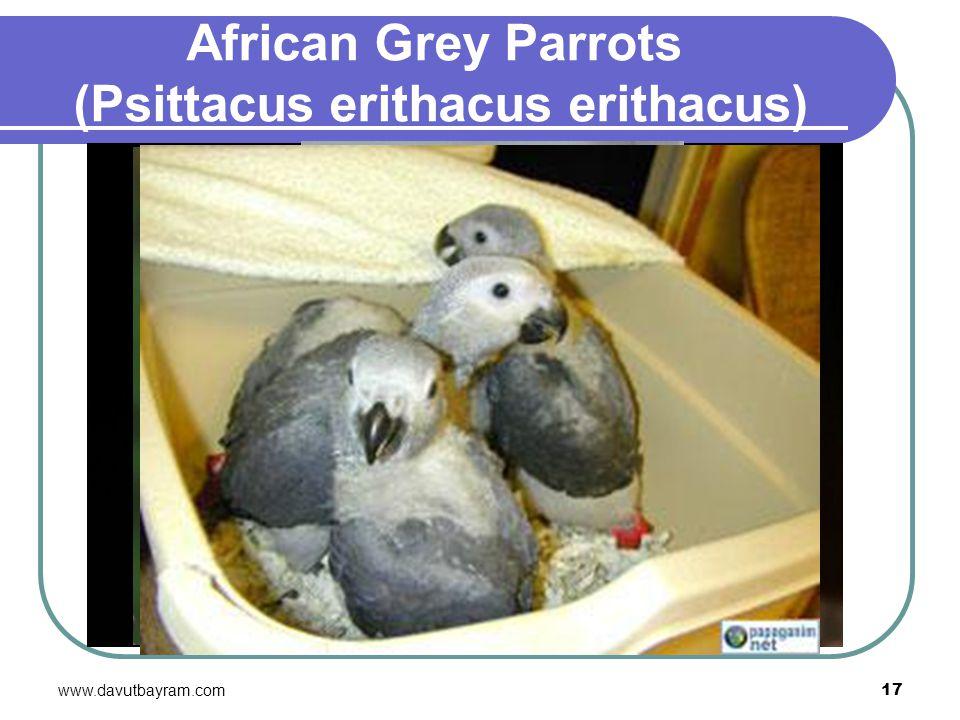 www.davutbayram.com 17 African Grey Parrots (Psittacus erithacus erithacus)