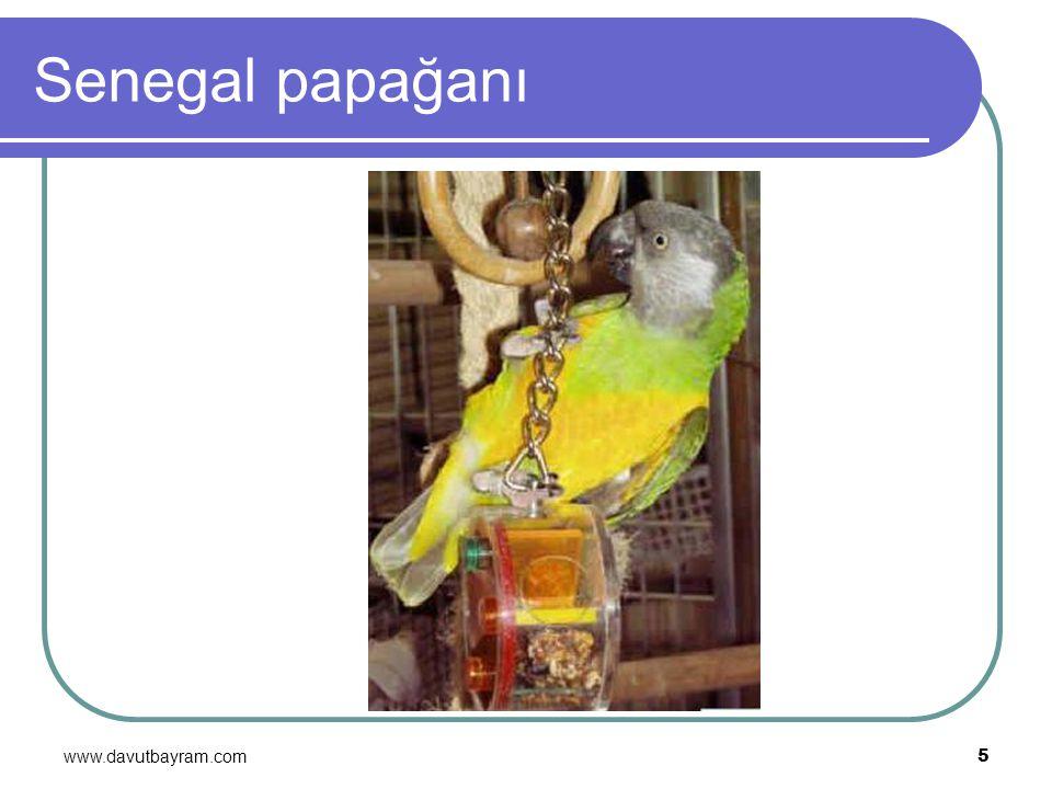 www.davutbayram.com 5 Senegal papağanı