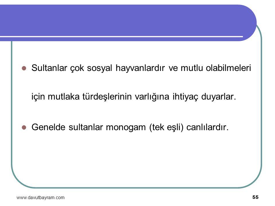 www.davutbayram.com 55 Sultanlar çok sosyal hayvanlardır ve mutlu olabilmeleri için mutlaka türdeşlerinin varlığına ihtiyaç duyarlar. Genelde sultanla
