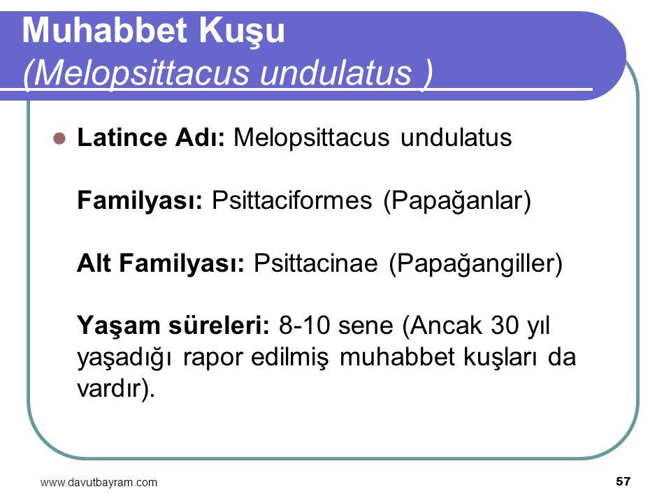 www.davutbayram.com 57 Muhabbet Kuşu (Melopsittacus undulatus ) Latince Adı: Melopsittacus undulatus Familyası: Psittaciformes (Papağanlar) Alt Family