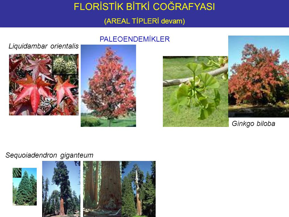 PALEOENDEMİKLER Liquidambar orientalis Ginkgo biloba Sequoiadendron giganteum FLORİSTİK BİTKİ COĞRAFYASI (AREAL TİPLERİ devam)