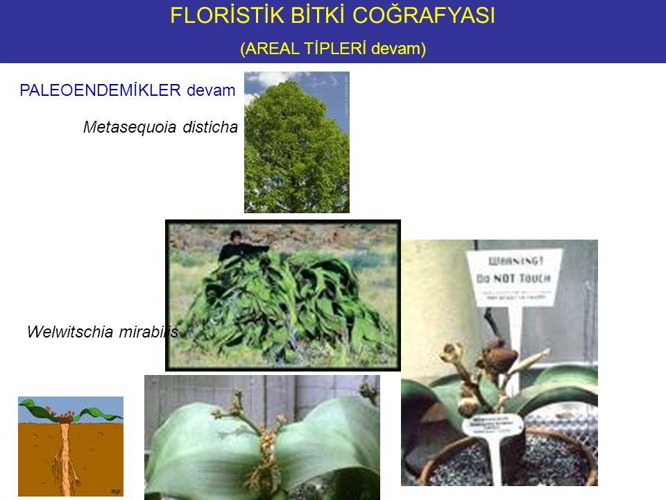FLORİSTİK BİTKİ COĞRAFYASI (AREAL TİPLERİ devam) PALEOENDEMİKLER devam Metasequoia disticha Welwitschia mirabilis