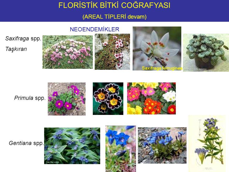 NEOENDEMİKLER FLORİSTİK BİTKİ COĞRAFYASI (AREAL TİPLERİ devam) Saxifraga spp.