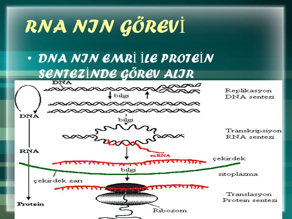 RNA NIN GÖREV İ DNA NIN EMR İ İ LE PROTE İ N SENTEZ İ NDE GÖREV ALIR