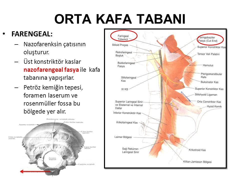 ORTA KAFA TABANI FARENGEAL: – Nazofarenksin çatısının oluşturur.