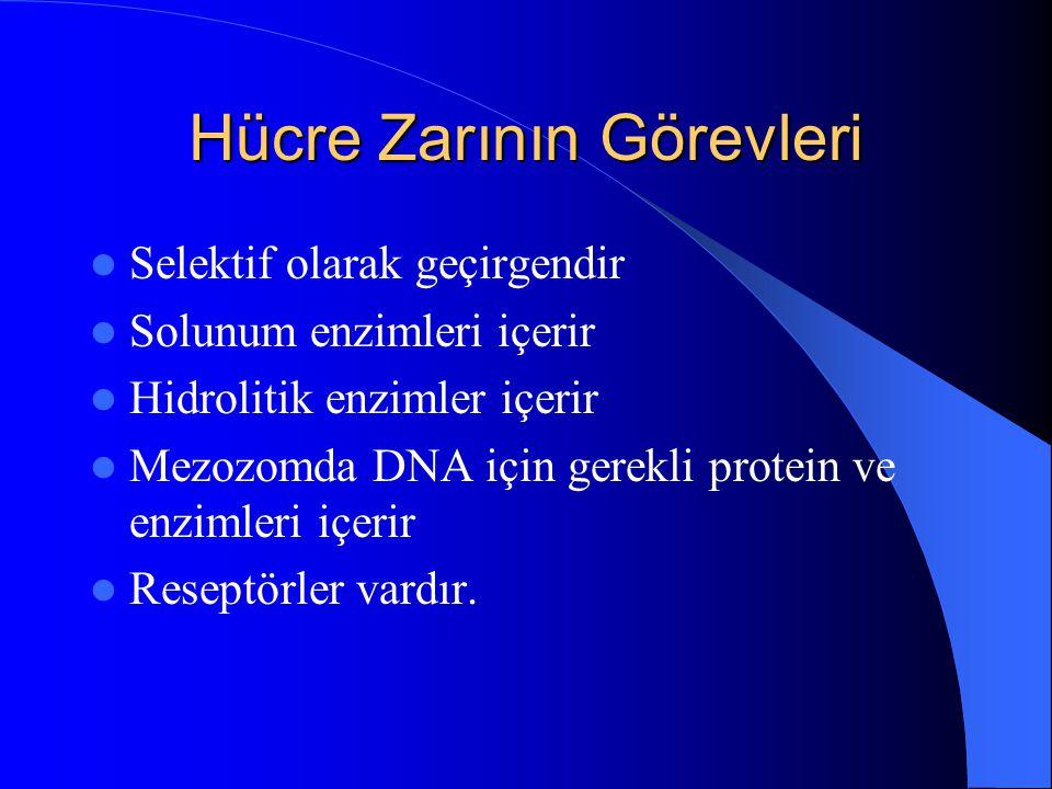 Hücre Zarının Görevleri Selektif olarak geçirgendir Solunum enzimleri içerir Hidrolitik enzimler içerir Mezozomda DNA için gerekli protein ve enzimler