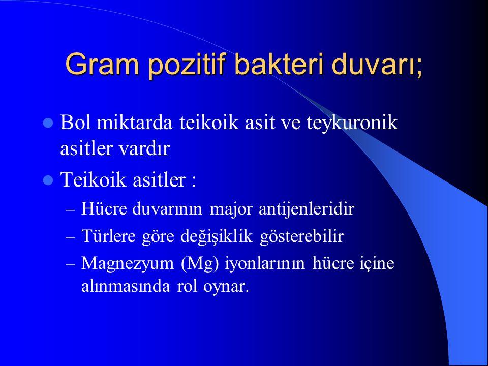 Gram pozitif bakteri duvarı; Bol miktarda teikoik asit ve teykuronik asitler vardır Teikoik asitler : – Hücre duvarının major antijenleridir – Türlere