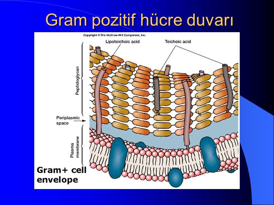 Gram pozitif hücre duvarı