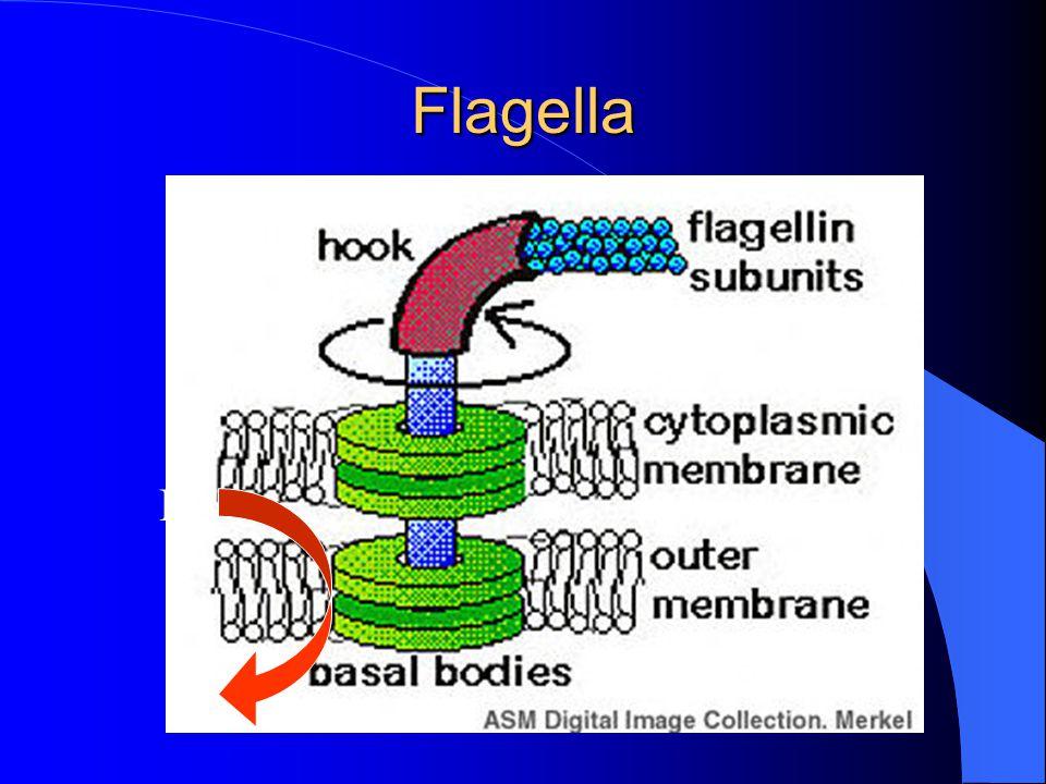 Flagella H+H+