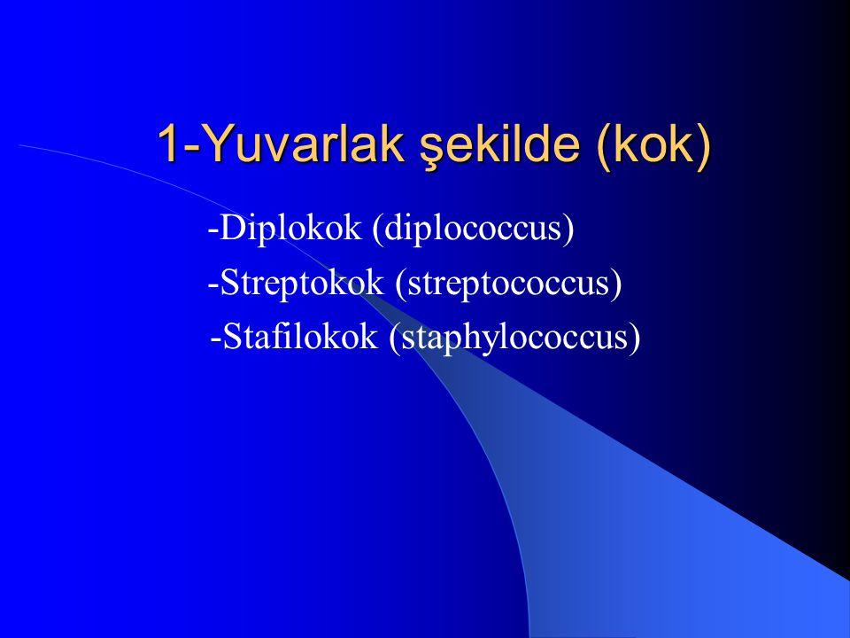 1-Yuvarlak şekilde (kok) -Diplokok (diplococcus) -Streptokok (streptococcus) -Stafilokok (staphylococcus)