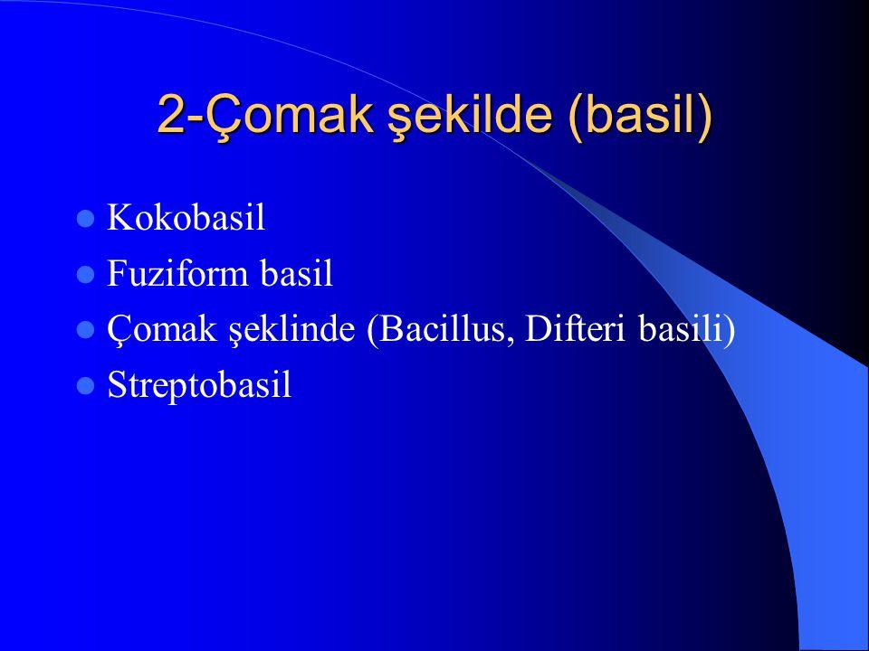 2-Çomak şekilde (basil) Kokobasil Fuziform basil Çomak şeklinde (Bacillus, Difteri basili) Streptobasil