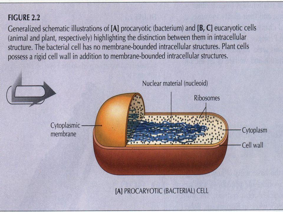 Hücre Duvarı Sitoplazma membranı ile kapsül arasında bulunur Bakteriye şeklini verir ve onu iç basınçtan korur Gram boyama yöntemi ile Gram pozitif (Gr +) ve Gram negatif (Gr -) olmak üzere ikiye ayrılır.