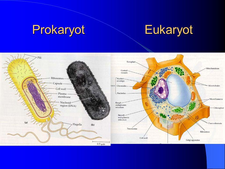 Prokaryot Eukaryot
