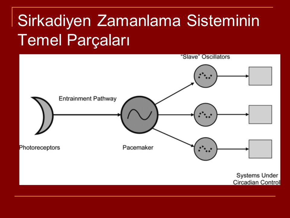 Sirkadiyen Ritim Sistemi Çıktı ve Denetim Düzeni